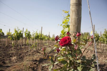 rose bush tree between vineyards main ally for the farmer to determine if the vineyard is in danger near of Mexico city
