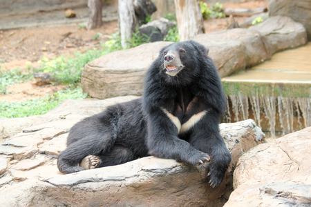 asiatic: Asiatic Black Bear in a zoo Stock Photo