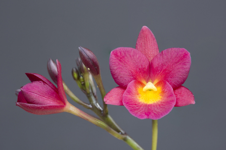 red orchid: The beautiful bright red orchid flower in dark background. Stock Photo