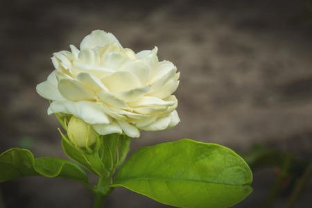 beatiful: The beatiful white jasmine flower bloom in the garden. Stock Photo