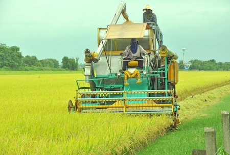 frontview of rice harvesting with combine harvester, normal harvesting in Thailand