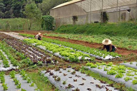 maintain: Thai farmers maintain vegetable plot to ensure the growth quality