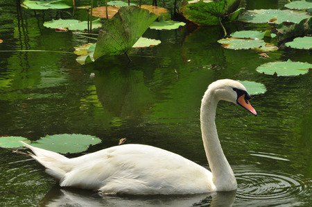 lily pads: swan swimming amid water lilies and lily pads