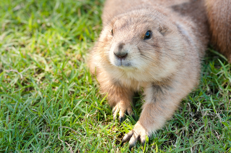 hefty: prairie dog (Cynomys ludovicianus) portrait of a cute pet, selective focus