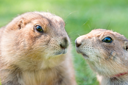 Portrait of a couple prairie dog (Cynomys ludovicianus), selective focus. Stock Photo