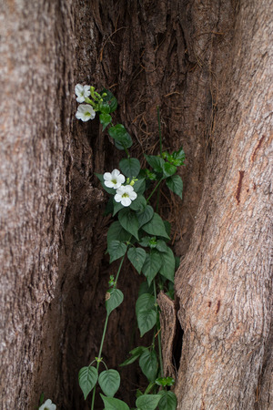 symbiosis: Climber with flower growing in the tree