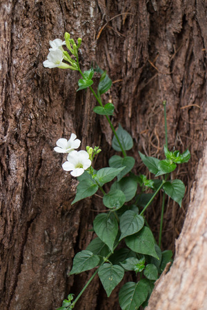 Climber with flower growing in the tree Stok Fotoğraf - 62127124
