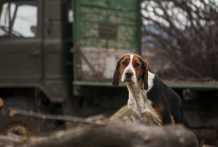logging truck: Country beagle dog in village, cut woods,  logging truck as background