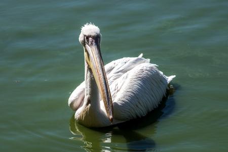 full face: Pelican in lake water full face closeup