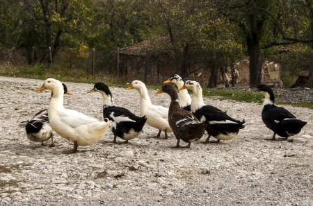 outbuilding: Ducks on rural gravel road and rustic outbuilding background