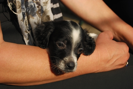 cradling: Newborn English setter puppy cradling in female hands