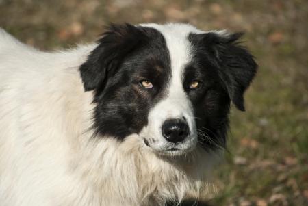 white shepherd dog: Capo del giovane cane da pastore bianco e nero Archivio Fotografico