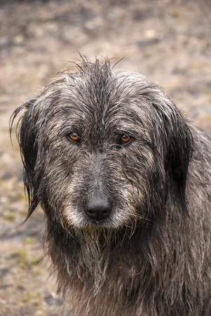 shaggy: Shaggy dog head