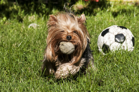 yorke: Yorkshire terrier playing with balls on grass garden