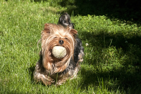 yorke: Yorkshire terrier playing with shabby tennis ball on grass garden Stock Photo