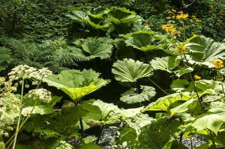 petasites: Giant butterbur green leaves in forest mountain river Stock Photo