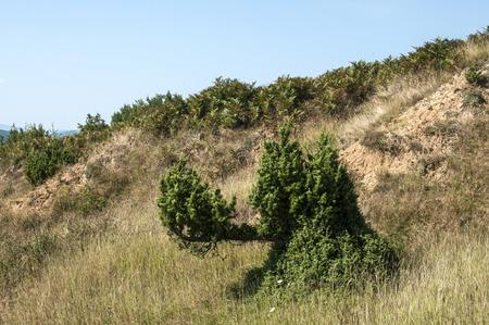 strange mountain: Strange juniper bush on dry soil mountain hill