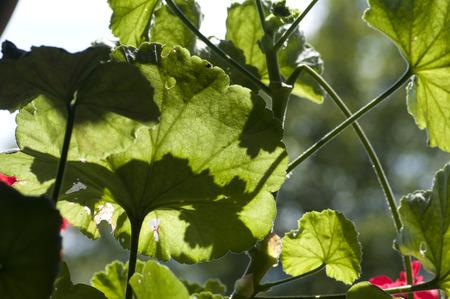 pelargonium: Fresh pelargonium leaves through which sunlight shines Stock Photo