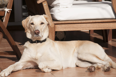 sun lit: Female labrador dog relaxing on autumn sun lit porch Stock Photo