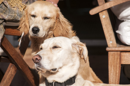 sun lit: Two dogs relaxing on autumn sun lit porch next to its owner Stock Photo