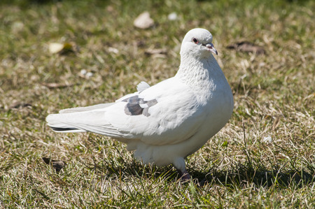 feral: White rock feral pigeon doves resting on winter green grass park meadow