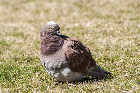 feral: Rock feral pigeon dove closeup resting on winter green grass meadow