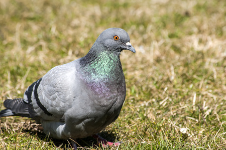 the ornithology: Rock feral pigeon dove closeup resting on winter green grass meadow
