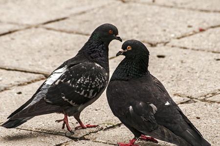 feral: Two rock feral pigeon doves close together on park pavement background
