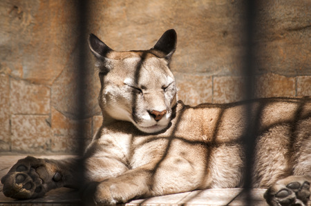 zoologico: Puma acostado en la jaula del parque zoológico en un día soleado