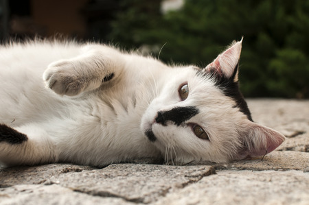 empedrado: Black and white cat lying on paved garden surface closeup
