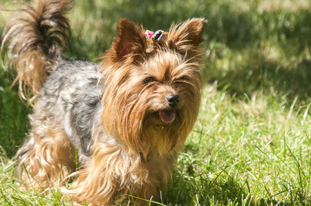 yorky: Female Yorkshire terrier dog on green lawn closeup