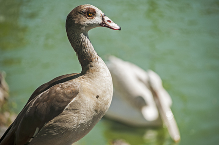 alopochen: Egyptian goose on pond waters background in sunny day