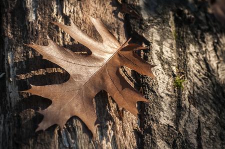 Brown dry oak leaf on oak tree bark closeup as background Standard-Bild