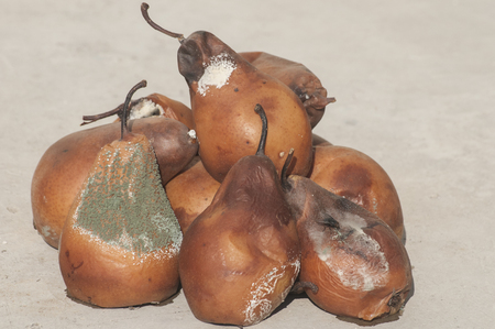 uneatable: Rotten and moldy brown winter pears closeup