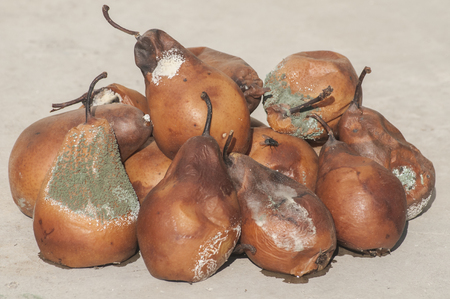 putrid: Rotten and moldy pears