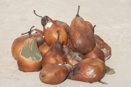 rotten: Rotten and moldy pears