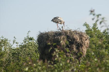 monogamous: Stork on stork nest done on power pole on blue sky background