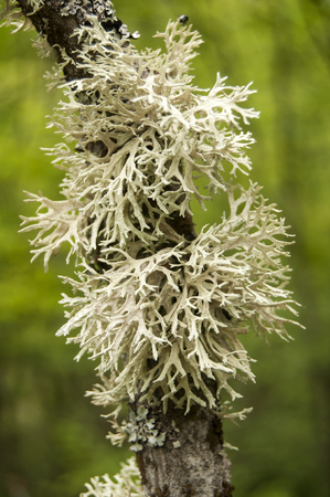 greyish: Iceland moss on tree branch closeup on green background Stock Photo