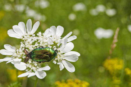 Lamprima aurata golden stag adult female beetle on blossomed white flower Stock Photo
