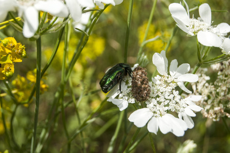 aurata: Lamprima aurata golden stag adult female beetle on blossomed white flower Stock Photo