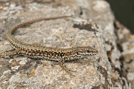 European common wall lizard closeup on stone rock