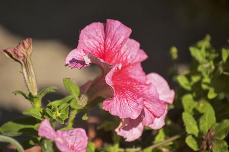 purpurea: Purple morning glory ipomoea purpurea flowers