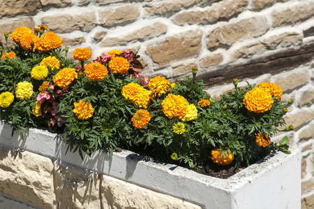 pot marigold: Yellow French Marigold Flower in large flowerpot