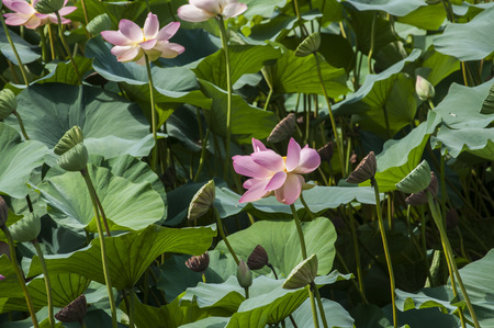 Lotus blossom with leaves and bud closeup