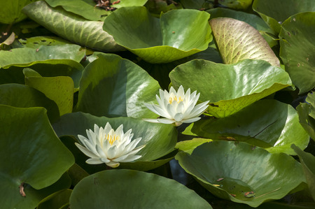 nymphaeaceae: Water lily flower blossom nymphaeaceae closup in pond