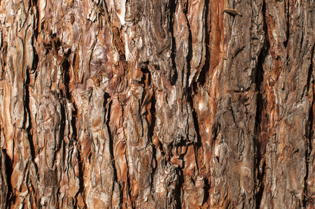 conifer: Tree bark of conifer surface closeup as background