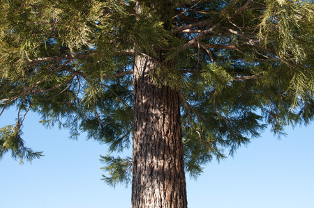 Stem of conifer tree with bark and green leaves on blue sky background