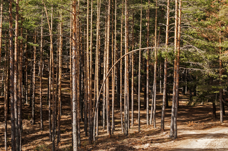 Moribund pine forest attacked by peak ips engraver bark beetles insect