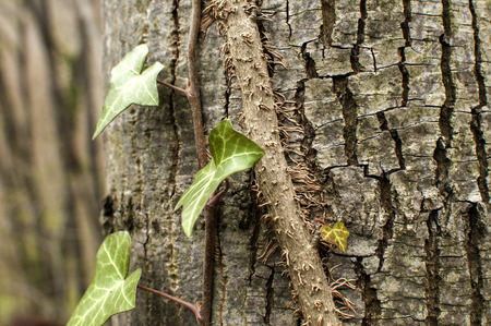 Ivy climbing and affixed to tree stem bark with his aerial roots