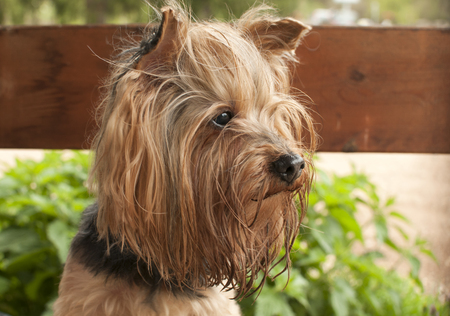 Yorkshire terrier dog head and man hands closeup
